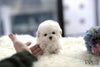 (Purchased by Thai) Benji - Maltipoo. M - Rolly Teacup Puppies - Rolly Pups
