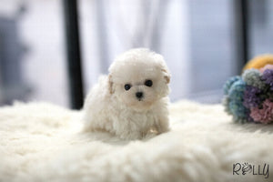 (Purchased by Thai) Benji - Maltipoo. M - Rolly Teacup Puppies