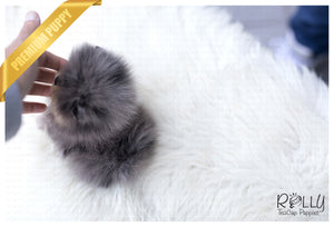 (Purchased by Lopez) Bentley - Pomeranian. M - ROLLY PUPS INC