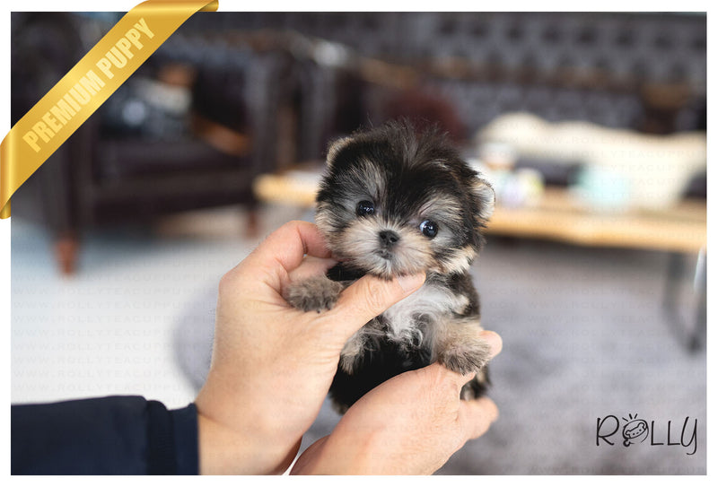 (PURCHASED by Halcrow) BERRY - Morkie. F - Rolly Teacup Puppies - Rolly Pups