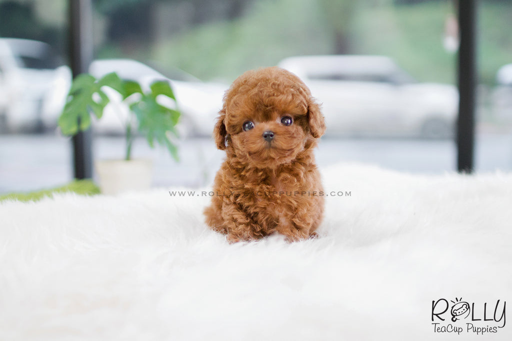 Sold To Garcia Berry Poodle F Rolly Teacup Puppies
