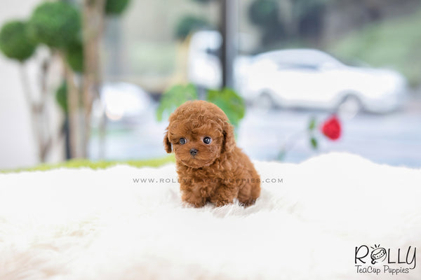 (SOLD to Garcia) Berry - Poodle. F