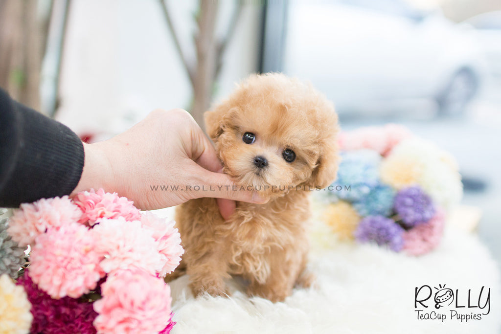 (SOLD to R.F) Beth - Poodle F. - Rolly Teacup Puppies