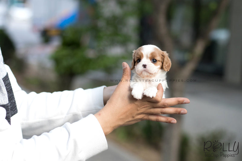 (SOLD to Long) Betsy - King Charles Jr. F - Rolly Teacup Puppies - Rolly Pups