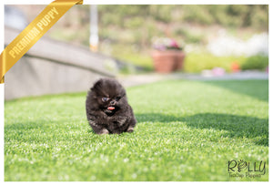 (SOLD to Steinle) Bianca - Pomeranian. F - Rolly Teacup Puppies - Rolly Pups