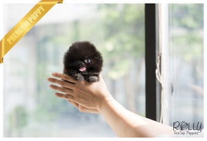 (SOLD to Steinle) Bianca - Pomeranian. F - Rolly Teacup Puppies