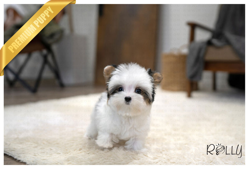(RESERVED by Rich) BIBI - Biewer Terrier. M - ROLLY PUPS INC