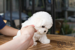Alex - Bichon - Rolly Teacup Puppies