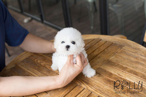 Alex - Bichon - Rolly Teacup Puppies - Rolly Pups