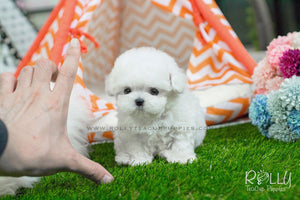 Isabelle - Bichon Frise - Rolly Teacup Puppies