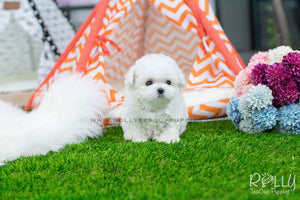 Isabelle - Bichon Frise - Rolly Teacup Puppies - Rolly Pups