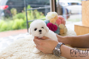 Mercy - Bichon Frise - Rolly Teacup Puppies