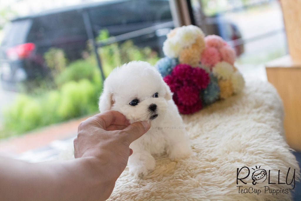 Mercy - Bichon Frise - Rolly Teacup Puppies - Rolly Pups