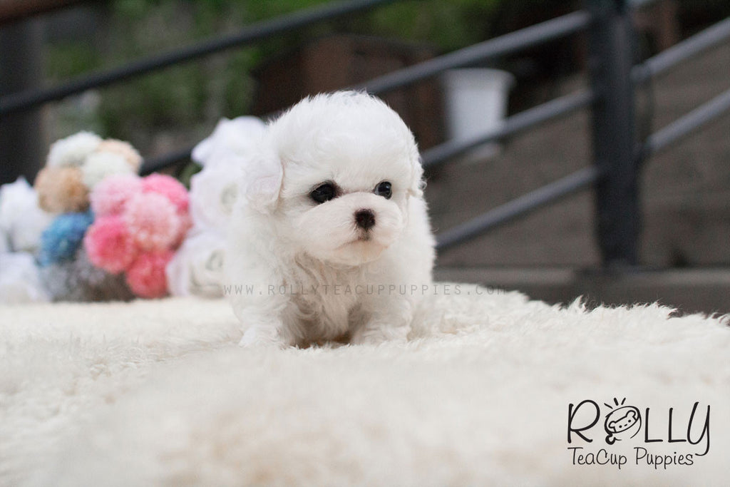 Loah - Bichon Frise - Rolly Teacup Puppies - Rolly Pups