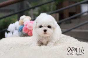 Loah - Bichon Frise - Rolly Teacup Puppies
