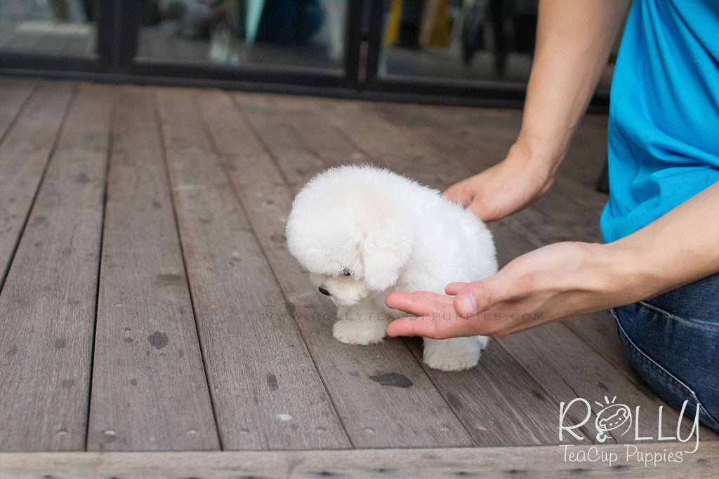 Winston - Bichon Frise - Rolly Teacup Puppies