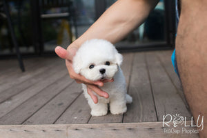 Winston - Bichon Frise - Rolly Teacup Puppies - Rolly Pups
