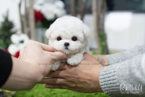 Puppies Tagged Quot Bichon Frise Quot Page 2 Rolly Teacup