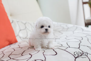 Ralph - Bichon. M - Rolly Teacup Puppies - Rolly Pups