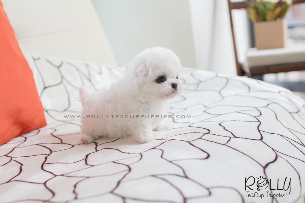 Ralph - Bichon. M - Rolly Teacup Puppies