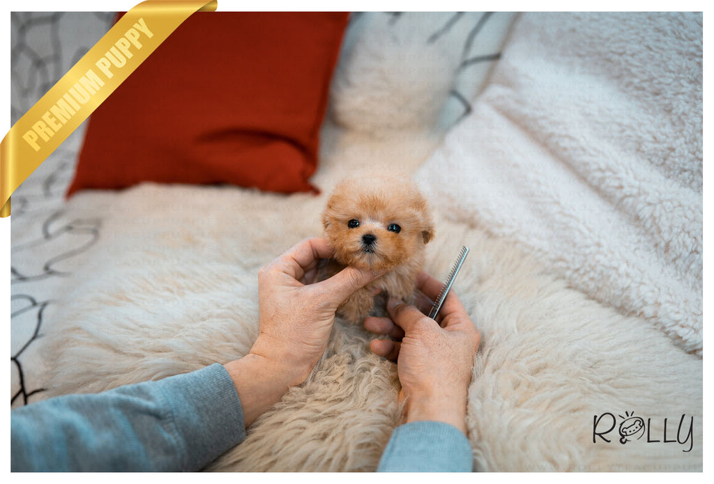 (Reserved by Grant)Bilbo - Poodle. M - Rolly Teacup Puppies