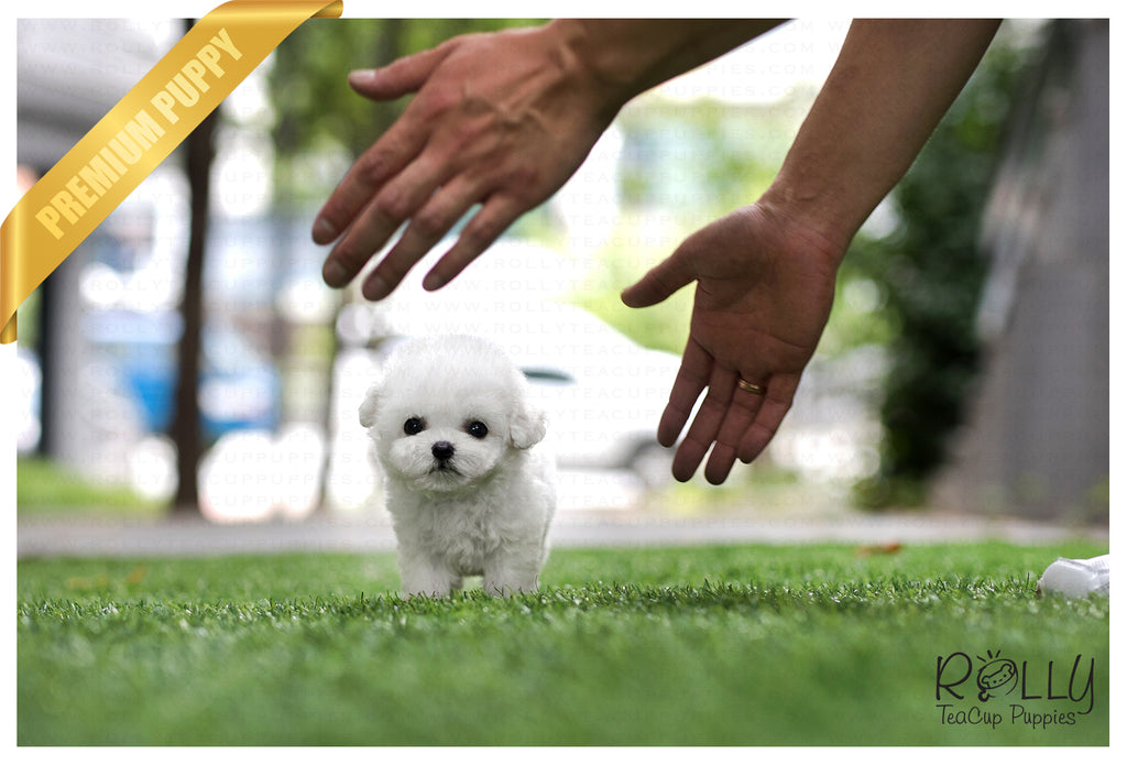 (SOLD to Kyawt Eaindray) Bingo - Bichon. F - Rolly Teacup Puppies