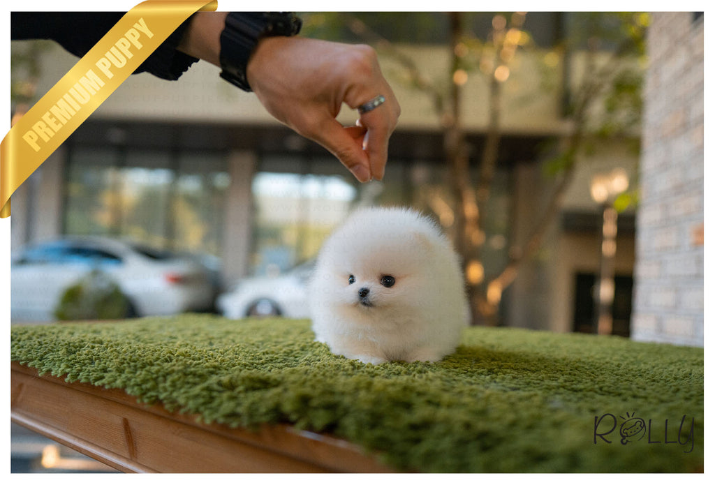 (Purchased by Acheson) BISCUIT - Pomeranian. M - Rolly Teacup Puppies - Rolly Pups