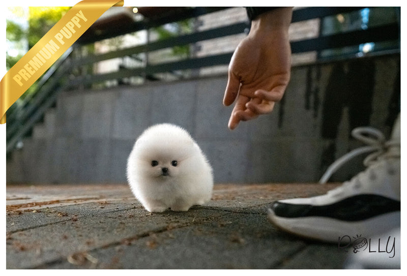 (Purchased by Acheson) BISCUIT - Pomeranian. M - Rolly Teacup Puppies