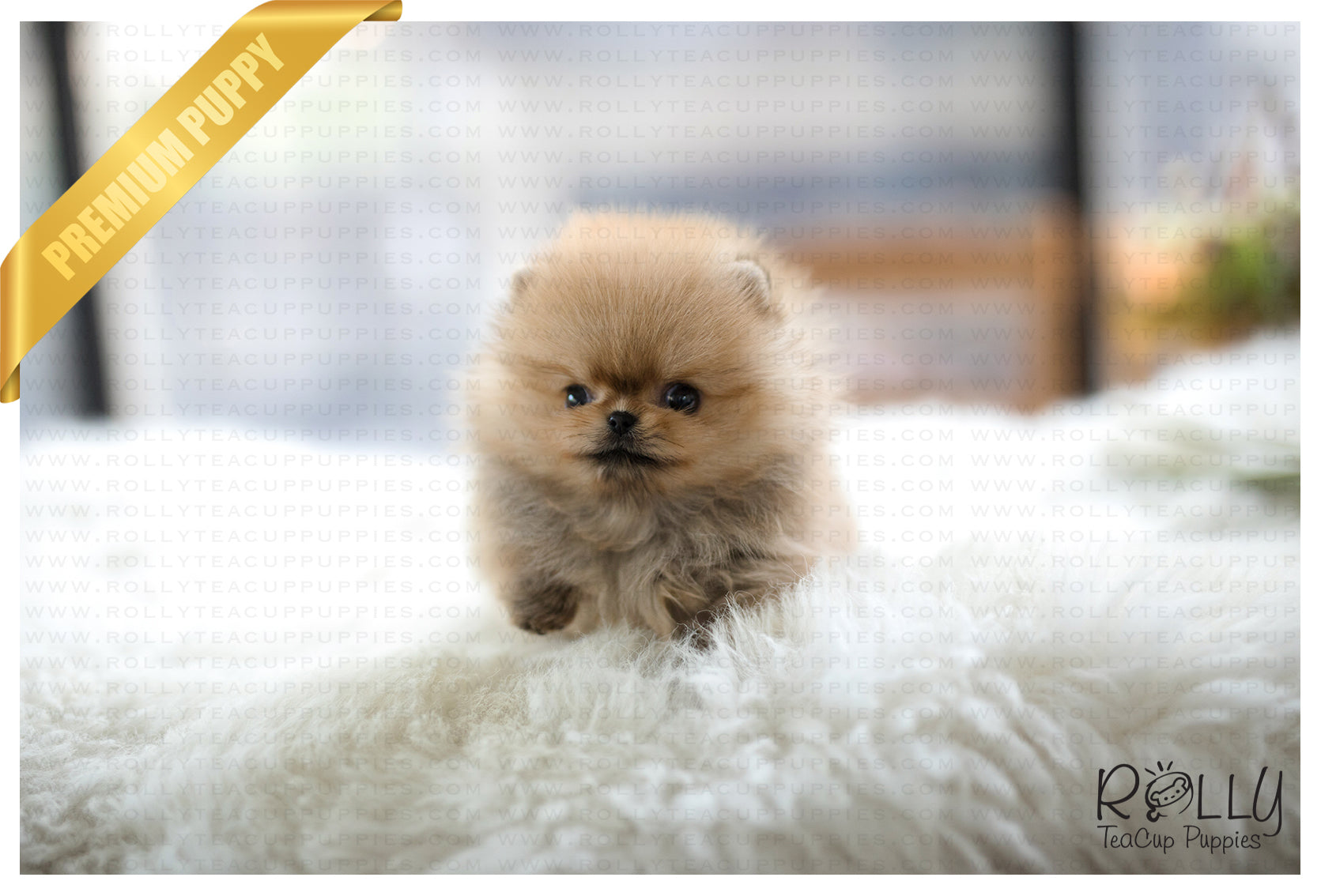 Sold To Secret Biscuit Pomeranian M Rolly Teacup Puppies