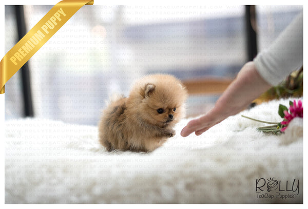 (SOLD to Secret) Biscuit - Pomeranian. M - Rolly Teacup Puppies