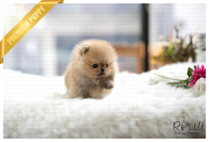 (SOLD to Secret) Biscuit - Pomeranian. M - Rolly Teacup Puppies - Rolly Pups