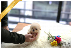 (Purchased by Lee) Biscuit - Poodle. F - Rolly Teacup Puppies