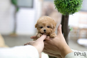 (Purchased by Turki) Biscuit - Poodle. M - Rolly Teacup Puppies - Rolly Pups