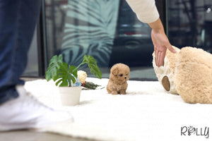 (Purchased by Turki) Biscuit - Poodle. M - Rolly Teacup Puppies
