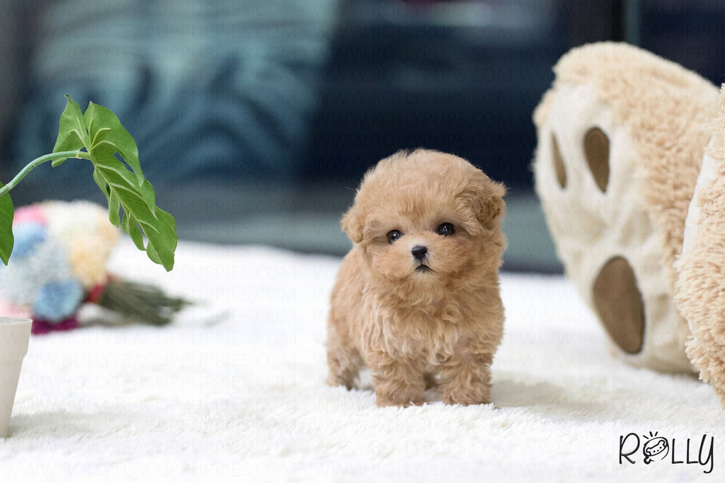 (Purchased by Turki) Biscuit - Poodle. M - ROLLY PUPS INC