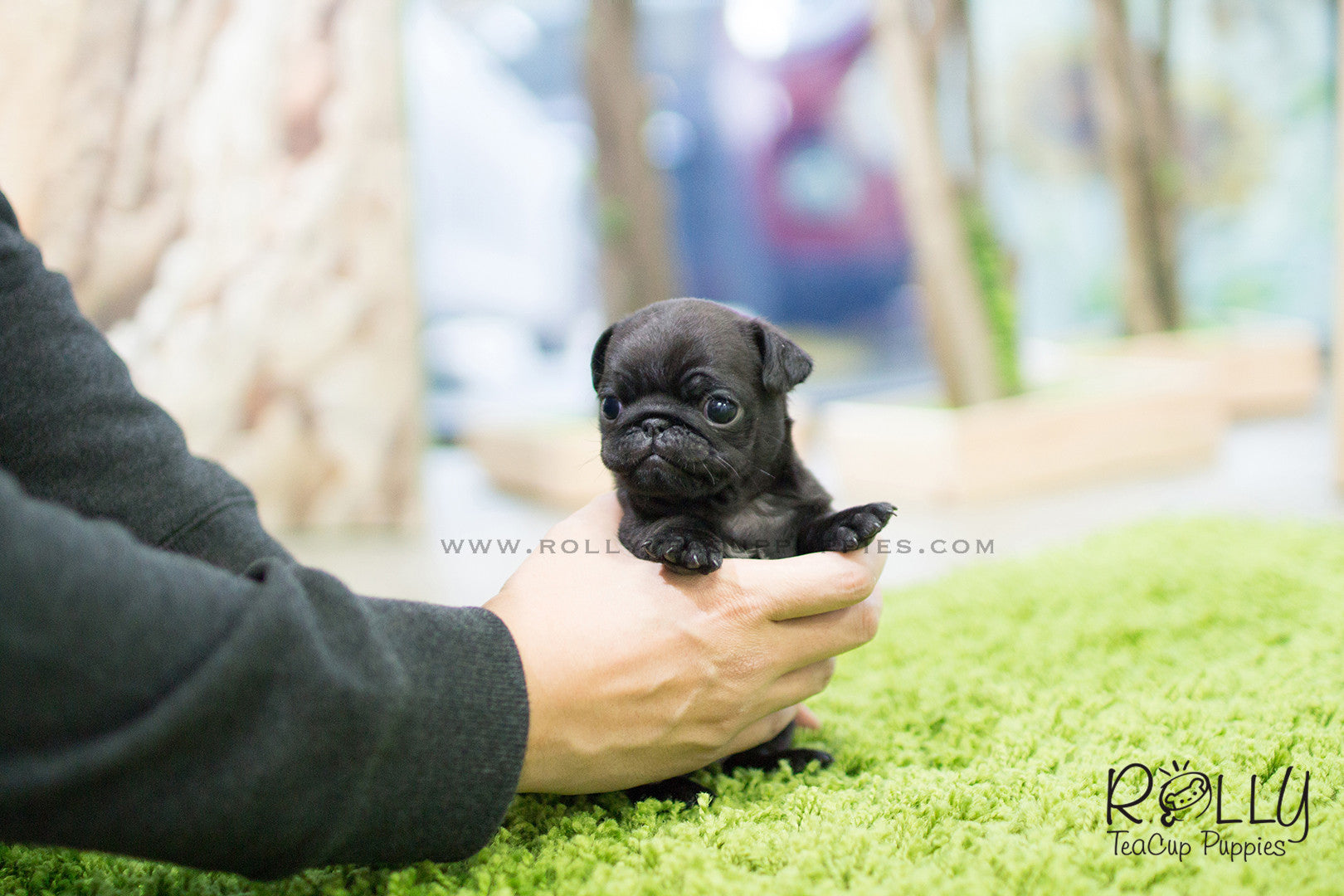 Lara Pug F Rolly Teacup Puppies