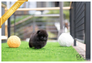 (SOLD to Crane) Jewel - Pomeranian. F - Rolly Teacup Puppies