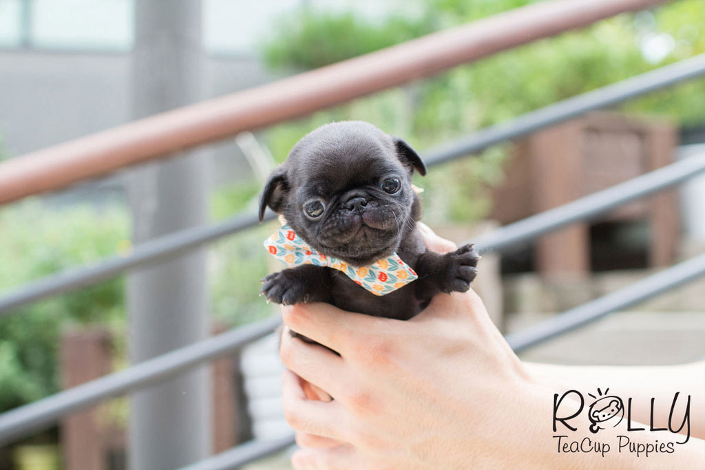 Candy - Pug - Rolly Teacup Puppies
