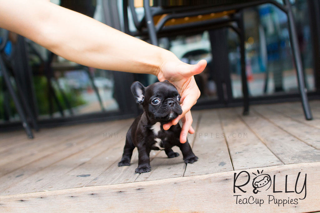 Blake - French Bulldog - Rolly Teacup Puppies