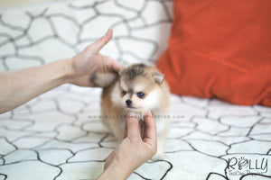 (SOLD to Kua) Blake - Pomsky. M - Rolly Teacup Puppies