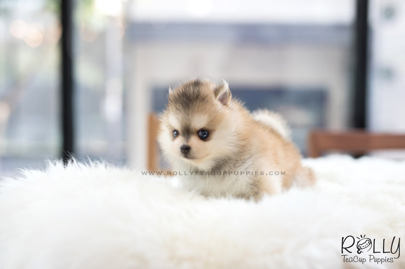 (SOLD to Kua) Blake - Pomsky. M - Rolly Teacup Puppies - Rolly Pups