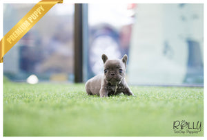 (SOLD to Jackson) Blu - French Bulldog. M - Rolly Teacup Puppies - Rolly Pups