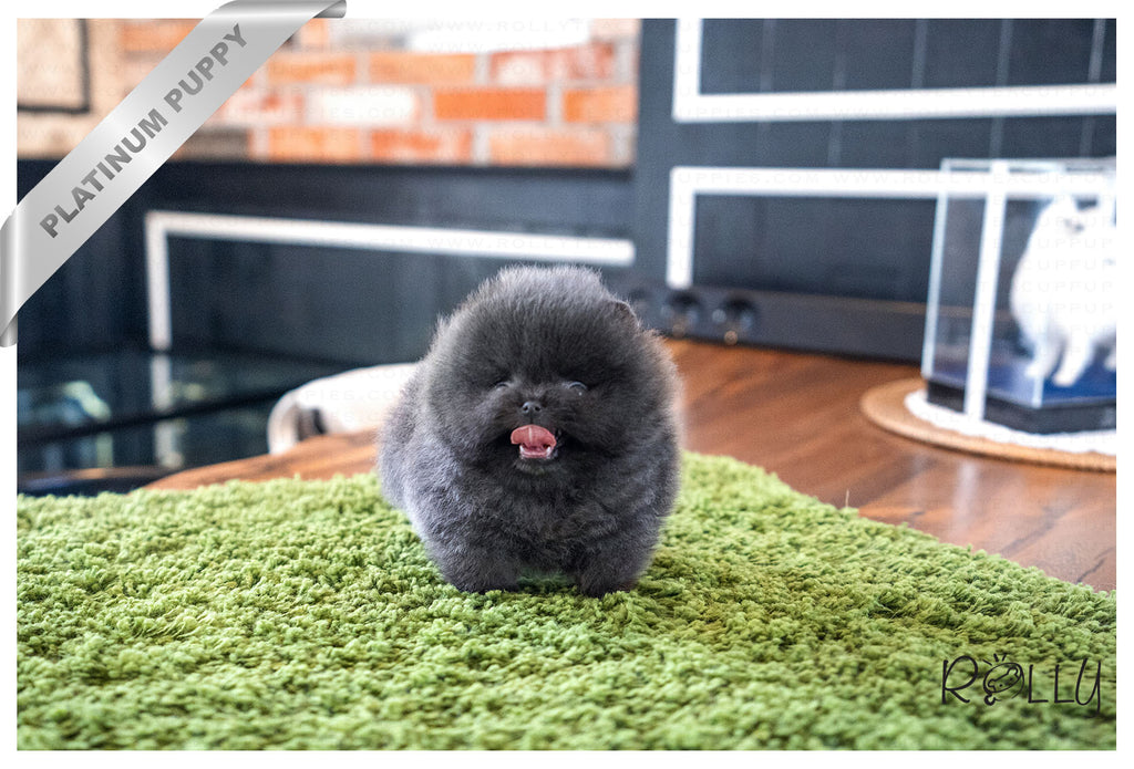 (Purchased by Michel) BLUE - Pomeranian. M - Rolly Teacup Puppies - Rolly Pups