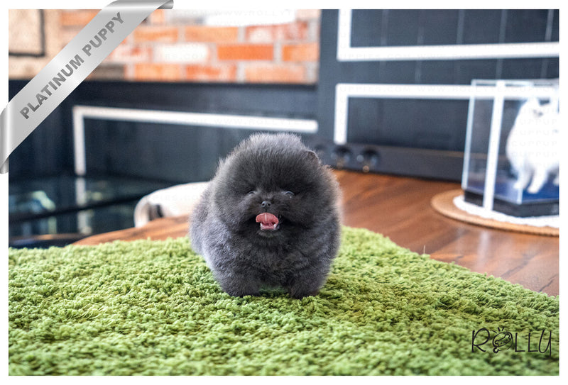 (Reserved by Michel) BLUE - Pomeranian. M - Rolly Teacup Puppies