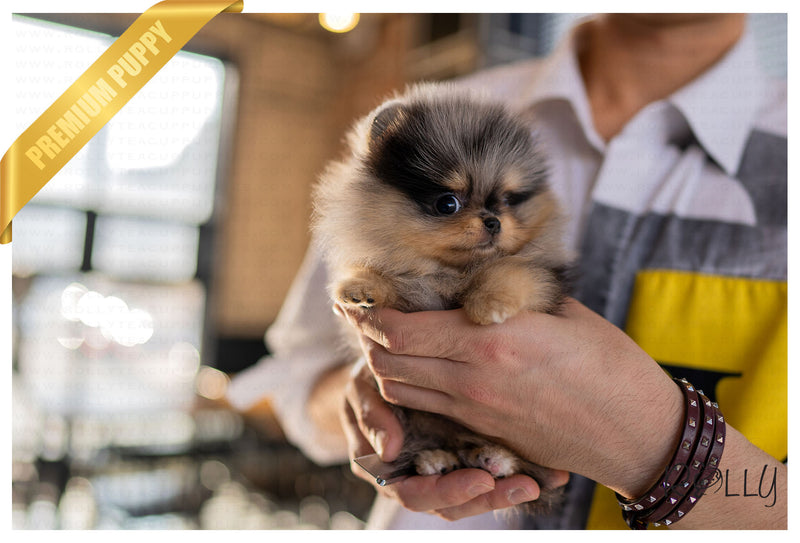 (RESERVED by Johnson) BLUE - Pomeranian. F - Rolly Teacup Puppies - Rolly Pups