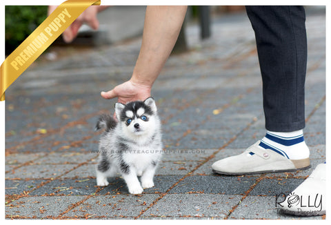 (SOLD to Jones) Blue - Pomsky. M - Rolly Teacup Puppies