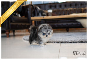 (Purchased by Balajadia) Blueberry - Pomeranian. F - Rolly Teacup Puppies