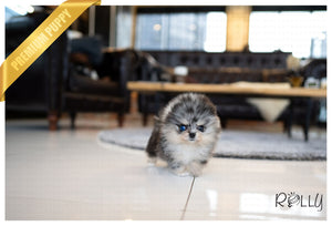(Purchased by Balajadia) Blueberry - Pomeranian. F - Rolly Teacup Puppies - Rolly Pups