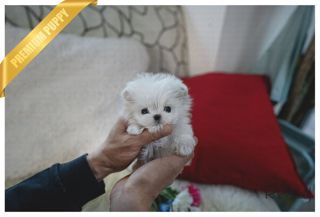 (Purchased by Hill) BO - Maltese. M - Rolly Teacup Puppies - Rolly Pups