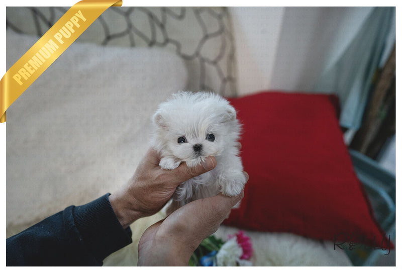 (Purchased by Hill) BO - Maltese. M - Rolly Teacup Puppies